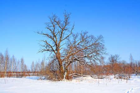 old oak on field Stock Photo - 6069767