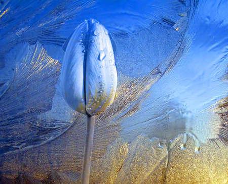 icy tulip Stock Photo - 6221536