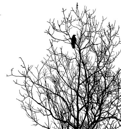 black bird: silhouette ravens on tree isolated on white background
