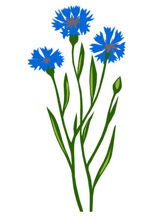 drawing of the flower cornflower on white background Vector