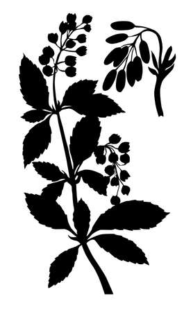silhouette of the barberry on white background Vector