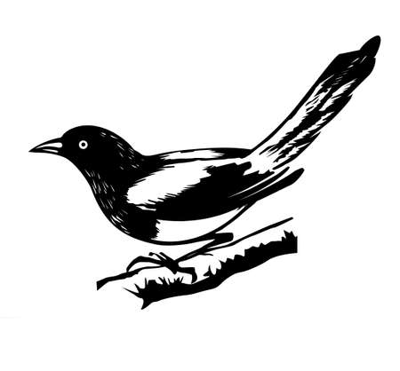 a bough: r illustration magpie on white background