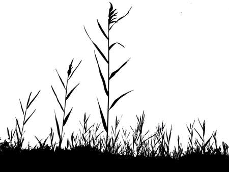 cattail: silhouette of the reed isolated on white background