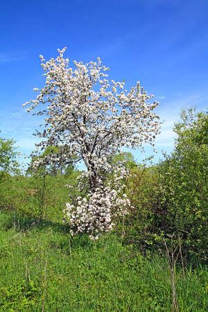 wild aple tree photo