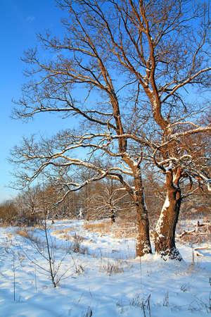 oak in snow Stock Photo - 6702103