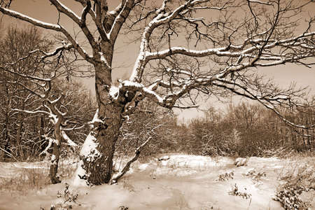 oak in snow Stock Photo - 6701962
