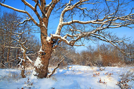 oak in snow photo