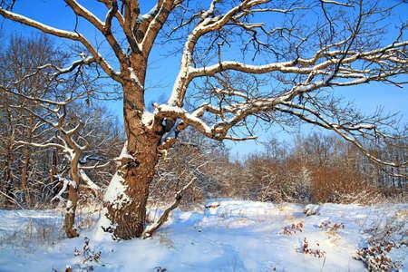 oak in snow Stock Photo - 6702139
