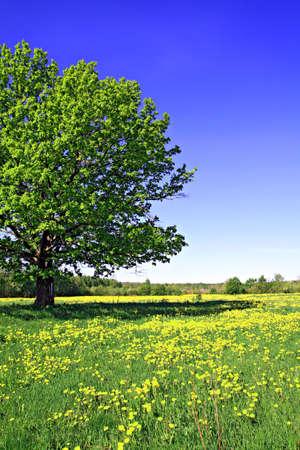 oak on field photo