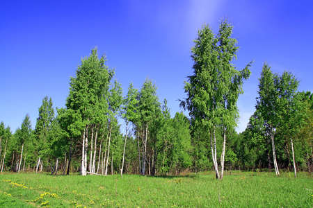 birch copse photo