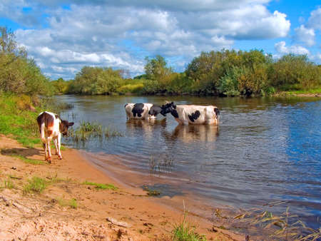 cows in river Stock Photo - 6844370