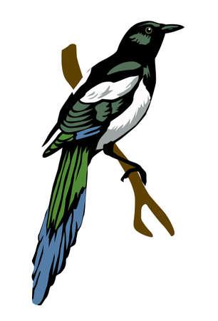 the magpie: illustration magpie on white background Illustration