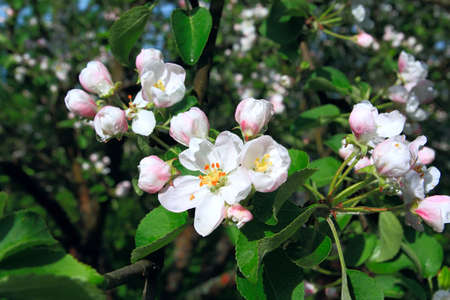 increase fruit: flowerses to aple trees