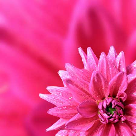 petal of the dahlia       photo