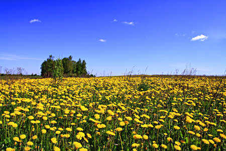 dandelions on field Stock Photo - 7063978