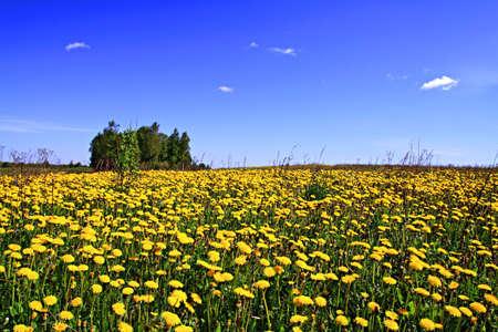 dandelions on field photo