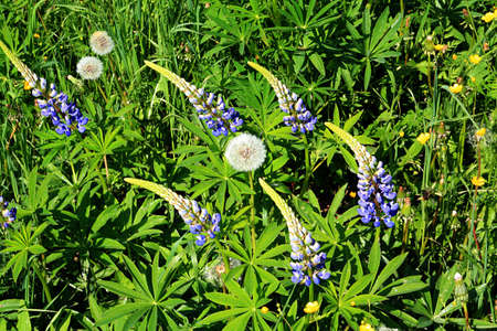 lupines on field photo