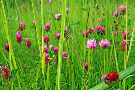 dutch clover: ladybug in herb