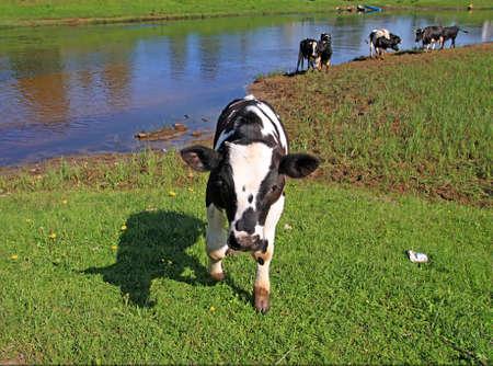 calf Stock Photo - 7656266