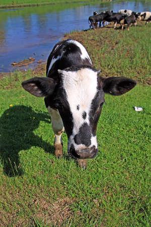 calf Stock Photo - 7656255