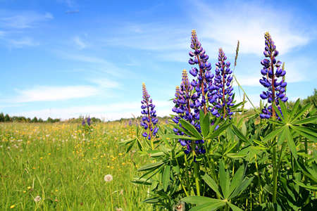 lupines on field Stock Photo - 7656129