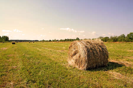 hay field: hay in stack