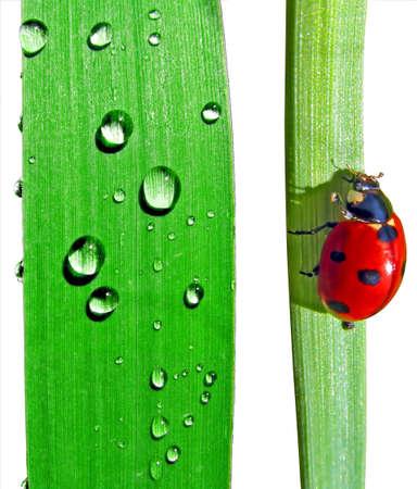 dripped and  ladybug on sedge photo