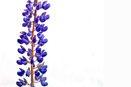 lupine: lupine Stock Photo