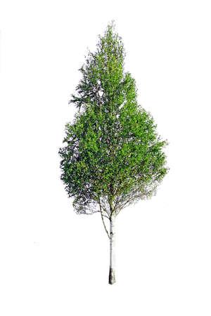 summer birch photo
