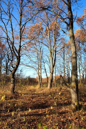 autumn oak photo