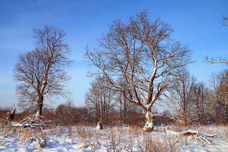 big oak in snow amongst wood photo