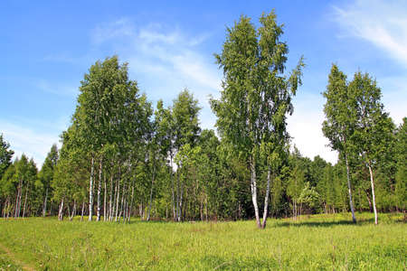 copse: birch copse on summer field