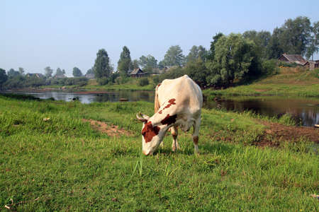 cow on coast river near villages Stock Photo - 7668344