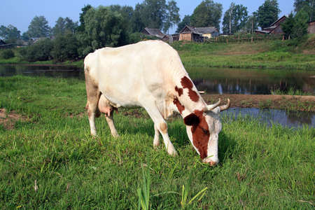 cow on coast river near villages Stock Photo - 7668343