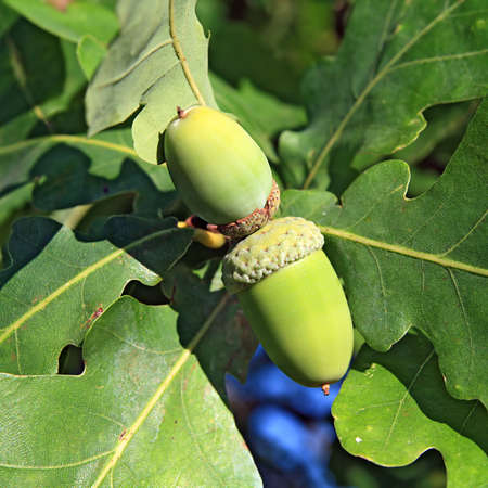 acorn amongst sheet of the oak photo