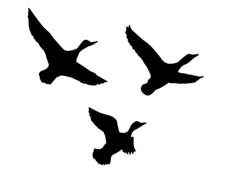 アヒル: 白い背景の上飛んでアヒルをシルエットします。