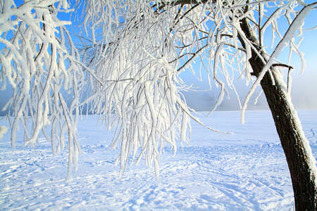 branches in snow photo