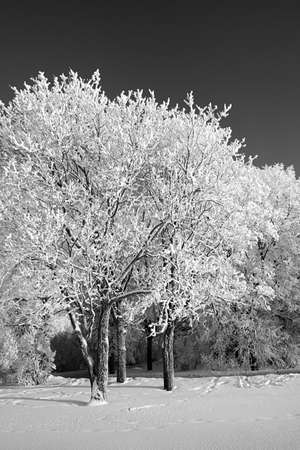 tree in snow photo