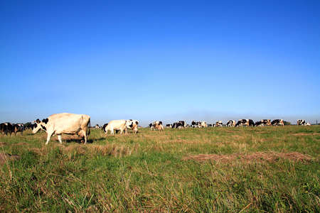 cows on pasture Stock Photo - 7736010