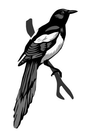 magpie: illustration magpie on white background Stock Photo