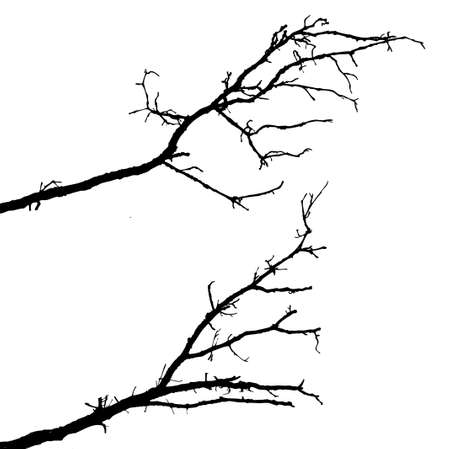 branch tree:  silhouette of the branch tree on white background