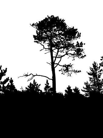 perish: silhouette of the old pine on white background