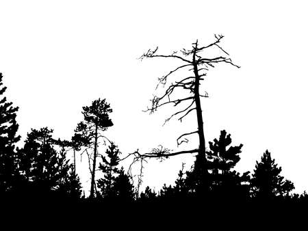 silhouette of the old pine on white background    Vector