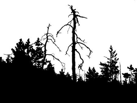 silhouette old pine wood on white background        photo