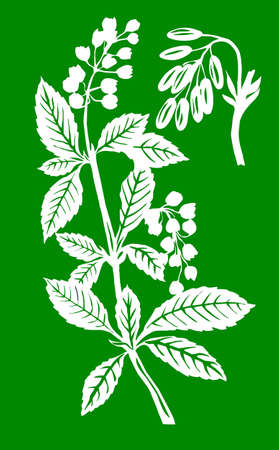 flowerses: vector illustration of the plant of the barberry