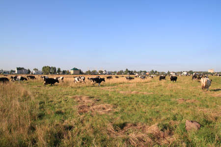 cows on pasture Stock Photo - 8174221