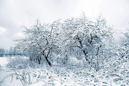aple trees in snow in winter garden  photo