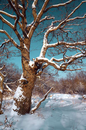 old oak in winter wood photo