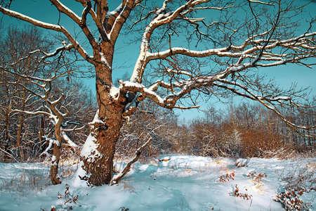 oak in snow Stock Photo - 8427970