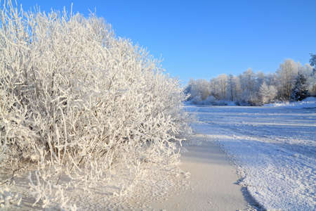 bushes in snow on coast river photo